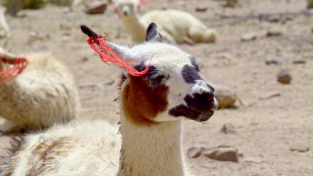 Lama close up lying video