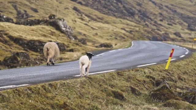Lamb And Sheep Walking Along Road