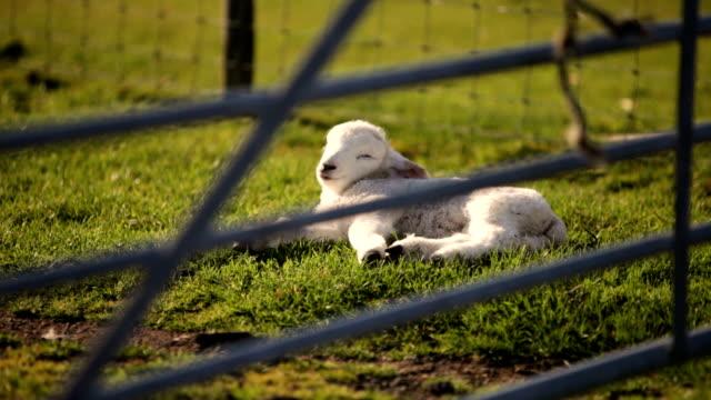 Lamb enjoying the spring sun video
