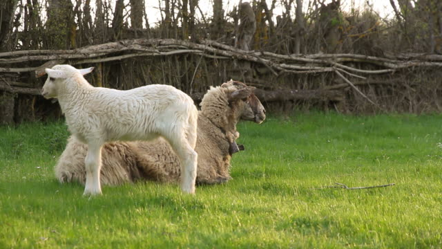 Lamb prancing alongside her mother