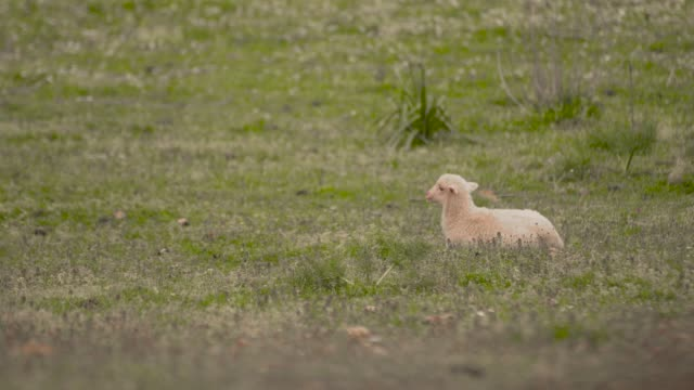 lamb sitting in the meadow - soltanto un animale video stock e b–roll
