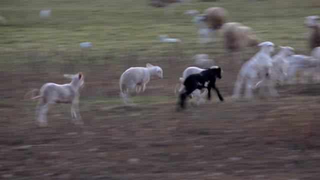 フィールドで遊ぶ子羊 - ヴァルデモサ点の映像素材/bロール