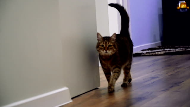 Laminate. The cat lies on the laminate Laminate. The cat lies on the laminate tabby cat stock videos & royalty-free footage