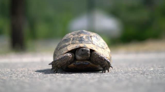 land tortoise (turtle) - żółw lądowy filmów i materiałów b-roll