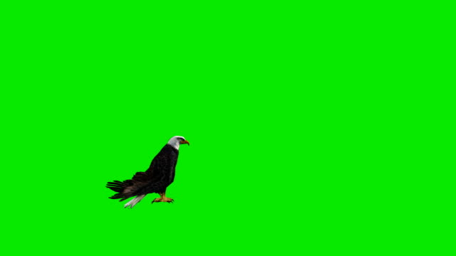 Landing Eagle Green Screen (Loopable) Design Element eagle bird stock videos & royalty-free footage