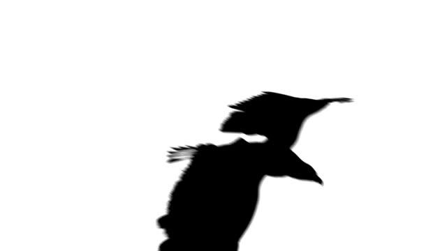 vídeos de stock e filmes b-roll de águia de aterragem em branco - dia de reis
