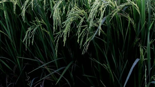 paesaggio di uno splendido campo verde con riso gambi cullati dal vento. - cespuglio tropicale video stock e b–roll