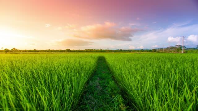 4 K : Красивый пейзаж на зеленом поле с рисом видео