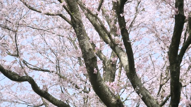 landscape of cherry blossom landscape of cherry blossom hovering stock videos & royalty-free footage