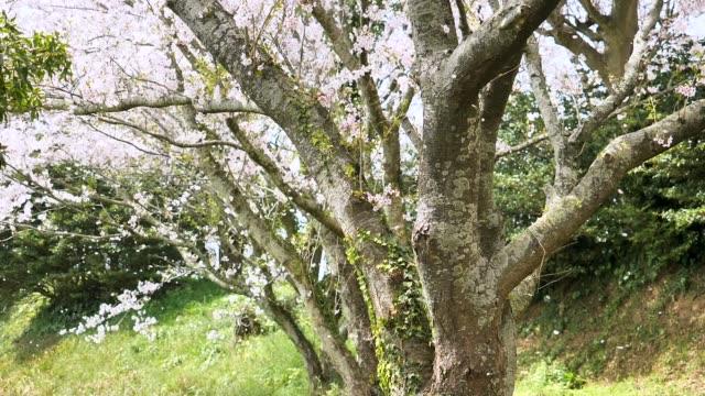 vídeos de stock, filmes e b-roll de paisagem da flor de cerejeira - cerejeira árvore frutífera