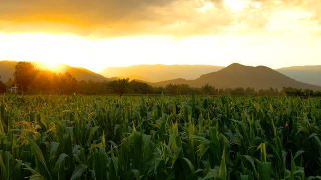 landschaft von maisfeld mit winden wind am abend und licht leuchtet sonnenuntergang auf dem land thailand - indochina stock-videos und b-roll-filmmaterial
