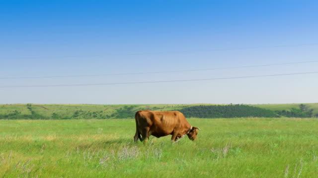 landskap av gröna ängen med ensam ko - single pampas grass bildbanksvideor och videomaterial från bakom kulisserna