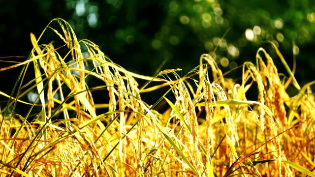 paesaggio di riso farm - cespuglio tropicale video stock e b–roll
