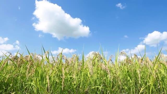 フィールドにおける水稲生育の風景 - 水田点の映像素材/bロール