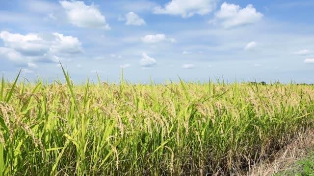 フィールドにおける水稲生育の風景 - 稲点の映像素材/bロール