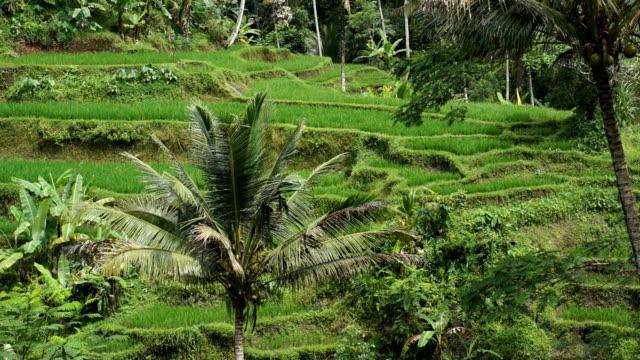 vídeos de stock, filmes e b-roll de paisagem do terraço de arroz na selva - relevo