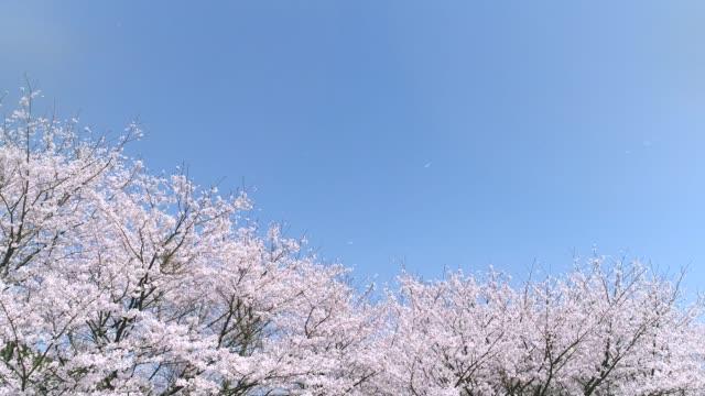 vídeos de stock, filmes e b-roll de paisagem da flor da cerejeira - cerejeira árvore frutífera