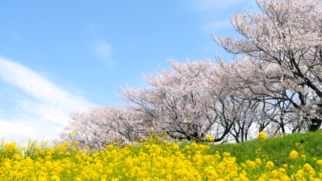 landscape of the cherry blossom landscape of the cherry blossom cherry tree stock videos & royalty-free footage