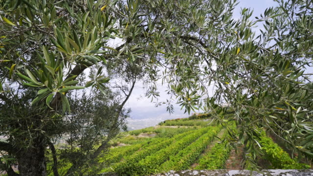 vídeos de stock e filmes b-roll de landscape over vine plants through olive tree - douro