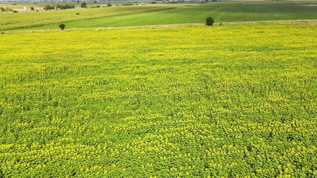 Landscape sunflower field near city of Plovdiv, Bulgaria
