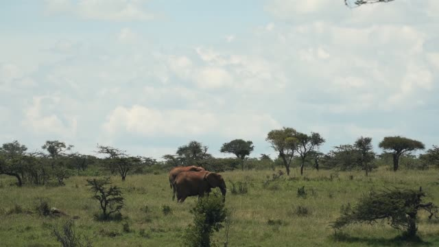 Landscape view of elephants walking and eating in the Kenyan bush, Africa, on a sunny day