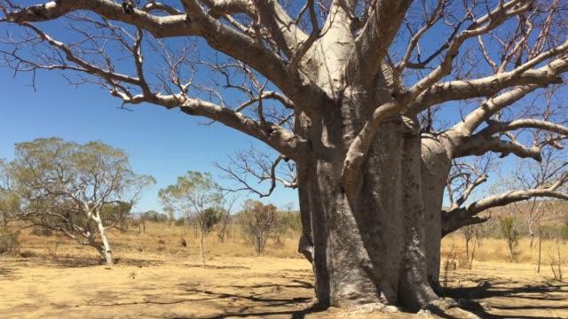 landschaftsansicht des großen boab tree kimberly western australia. - affenbrotbaum stock-videos und b-roll-filmmaterial