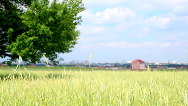 Landscape with a wheat field and the sky video