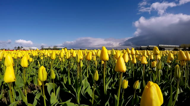 Landscape with Colorful Flowers Tulips Against the Sky -  Slow Motion video