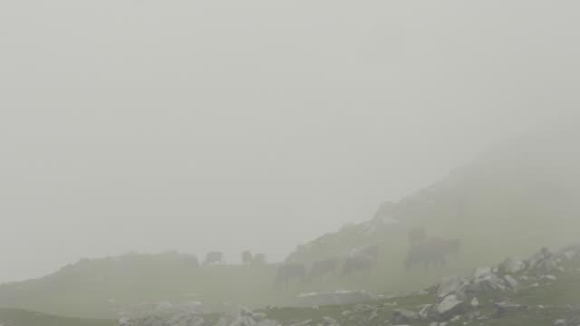 landschaft mit kühen auf der weide unvergessliche - himachal pradesh stock-videos und b-roll-filmmaterial