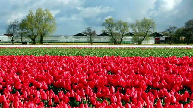 Landscape with Red Tulips and Overcast Sky in Netherlands video