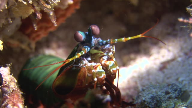 Langoust spiny lobster in search of food on background underwater on bottom sea.