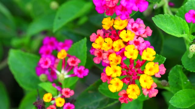 lantana colorful rainbow bouquet flowers blooming in the garden