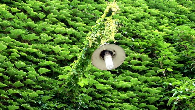 랜턴과 조밀 한 녹색 담쟁이 잎으로 덮여 벽. - 아이비 스톡 비디오 및 b-롤 화면