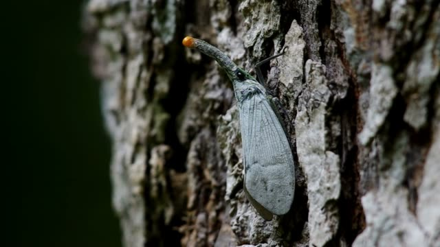 Lantern Bug on the bark video