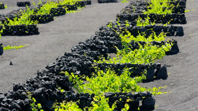 Lanzarote- close up on walls of stones protecting little and delicate plants video