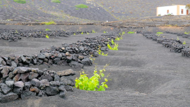 Lanzarote- seedlings on volcanic soil protected by walls video