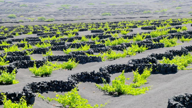 Lanzatore - Overview of vine plants field,grown in the ashes video