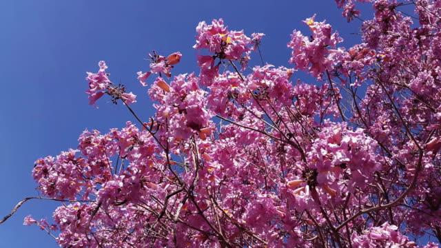lapacho arupo árbol con cielo azul - vídeo