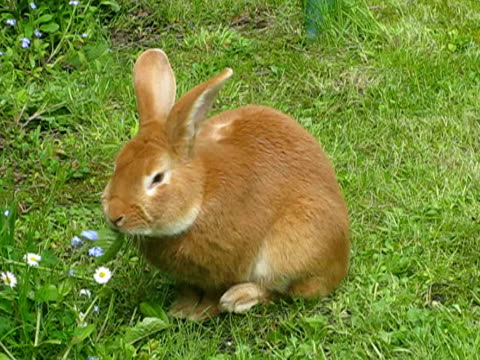 vidéos et rushes de lapin dans l''herbe - apprivoisé