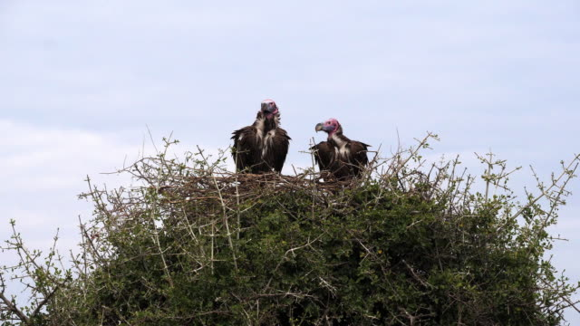 Lappet Faced Vulture, torgos tracheliotus, Pair standing on Nest Masai Mara Park in Kenya, Real time 4K Lappet Faced Vulture, torgos tracheliotus, Pair standing on Nest Masai Mara Park in Kenya, Real time 4K vulture stock videos & royalty-free footage