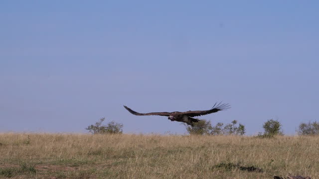Lappet-faced vulture or Nubian vulture, torgos tracheliotus , adult in flight, Masai Mara Park in Kenya, slow motion