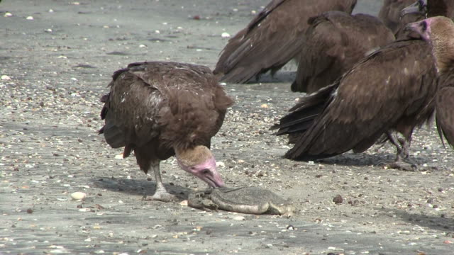 Lappet-faced Vulture savaging for food video