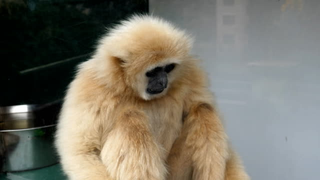 Lar gibbon ape sitting in the window