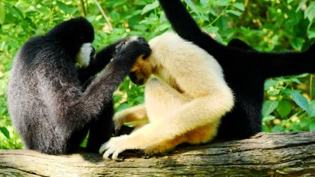 lar gibbon familj vård på träd. - gibbon människoapa bildbanksvideor och videomaterial från bakom kulisserna