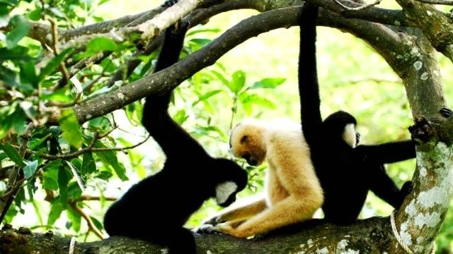 Lar Gibbon family taking care its cub on tree.