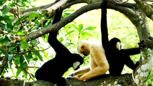 lar gibbon family taking care its cub on tree. - gibbone video stock e b–roll