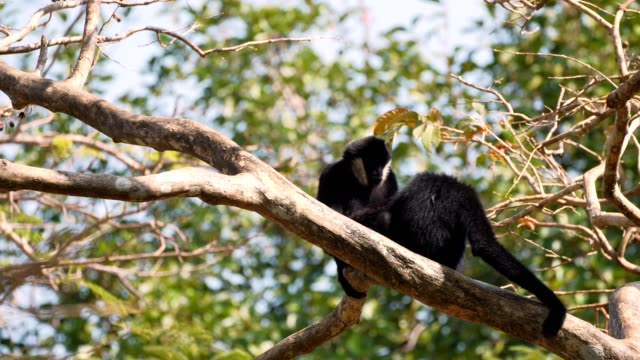 Lar Gibbon family taking care its cub.