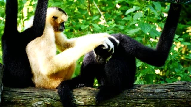 Lar Gibbon family taking care its cub. video