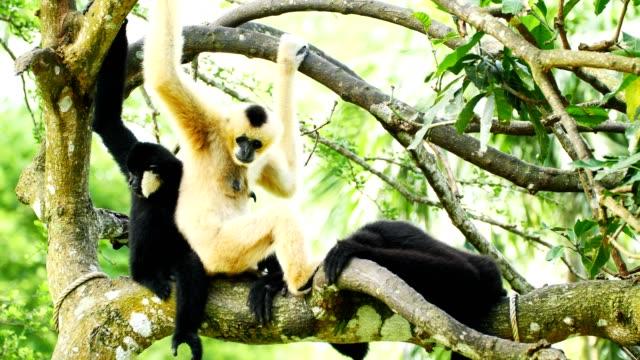 lar gibbon family taking care its cub. - gibbone video stock e b–roll