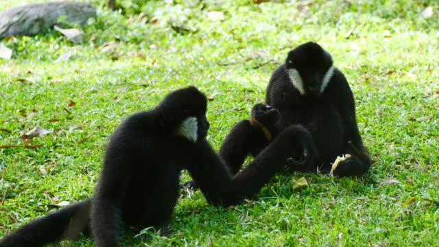 lar gibbon feeding on the ground. - gibbone video stock e b–roll
